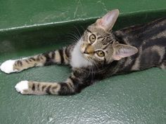 Meet Aries, a Petfinder adoptable American Shorthair Cat | Peachtree City, GA | Petfinder.com is the world's largest database of adoptable pets and pet care information....