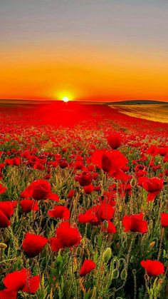 In Flanders fields the poppies blow...