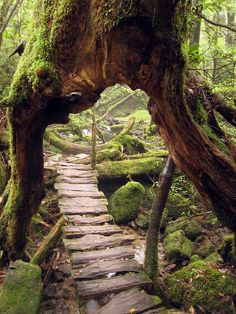 Yakushima Island is covered in dense ancient forest. One tree known as Jhomon Sugi on Yakushima is thought to be up to years old making it the oldest tree in the world. Yakushima, Oh The Places You'll Go, Places To Travel, Places To Visit, All Nature, Amazing Nature, Pathways, Belle Photo, The Great Outdoors