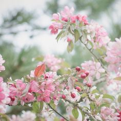 Apple Blossoms Wall Decor, Pink Flowering Tree, Spring Garden, Soft Pastel Art, Nature Photography, Picture of Flowers, Square Print by SandieConry on Etsy https://www.etsy.com/listing/234389389/apple-blossoms-wall-decor-pink-flowering