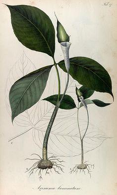 t. 1 - Rumphia, sive, Commentationes botanicæ¦ imprimis de plantis Indiæ¦ Orientalis - Biodiversity Heritage Library