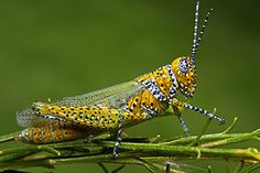 sun-stones:    Panther-spotted Grasshopper (Poecilotettix pantherinus) by Mundo Poco on Flickr.