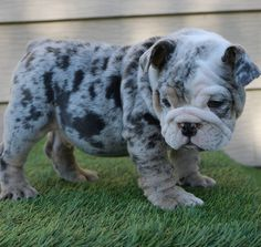 English Bulldog Puppies For Sale, Male & Females Available Fast Shipping Cute Baby Puppies, Bulldog Puppies For Sale, Baby Pugs, English Bulldog Puppies, Pug Puppies, Cute Dogs, Terrier Puppies, Baby English Bulldogs, Boston Terrier