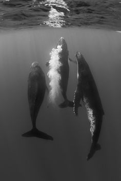 sea life - sea life photography - sea life underwater - sea life artwork - sea life watercolor sea l Fotografia Pb, Fauna Marina, Save The Whales, Animal Attack, Underwater Photographer, Life Aquatic, Delphine, Ocean Creatures, Humpback Whale