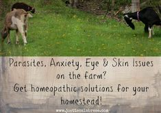 If you are a homesteader, listen up: here is Part One of Homeopathy on the Homestead. We'll cover parasites, eye and skin issues and anxiety issues here, and in Part Two, we'll discuss joint and tendon problems, how to address Fowl Cholera, treating pneumonia and using homeopathy to address boils and abscesses in animals.