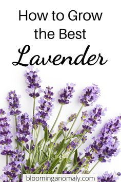 Learn about the different types of lavender and some of the ways you can use it at home. Grow your lavender outdoors in pots and more. Click on the pin to learn how to grow the best lavender. #lavenderplant #growlavender #howtogrowlavender #growlavenderinpots Lavender Uses, Dried Lavender Flowers, Growing Lavender, Lavender Fields, Gardening For Beginners, Gardening Tips, Herbs For Health, Potting Soil