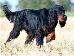 Gordon Setter dog art portraits, photographs, information and just plain fun… Gordon Setter, Setter Puppies, Dogs And Puppies, Doggies, Irish Setter, Best Pet Birds, Akc Breeds, Cocker, Different Dogs