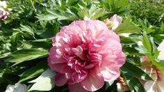 Paeonia lactiflora 'Helen Hayes'