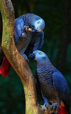 Resultado de imagem para african grey parrot colours