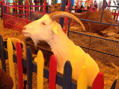 Another #goat at the big E petting zoo!