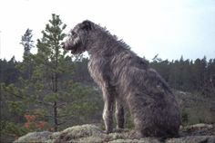 Irish Wolfhound...not a product, but I really want one!