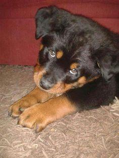 """Yum yum"" Rottweiler puppy"
