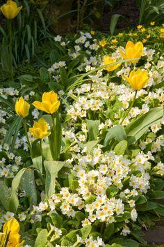 tulpen en primula's