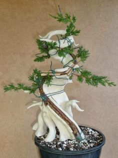 Beginning of a tanuki bonsai