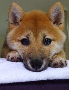 How can there be anything to do besides attend to me?  One cute Shiba Inu pup.