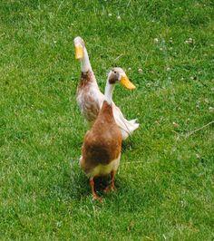 Beep and Chock, Indian Runner ducks