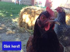 This is both my chickens, barred rock in the background and Rhode Island red looking at the camera!! LoL!!                                                     Join us on our Facebook group to read more information on these two chickens!!
