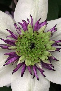 White clematis---love the touch of purple and green in the center.