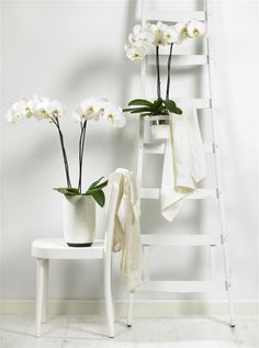 Beautiful white Phaleanopsis orchids that fit perfectly in a beach style interior.