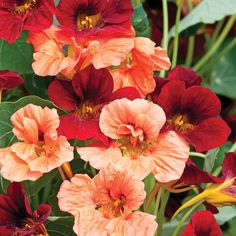 Nasturtium 'Rumba Mix' Nasturtium is a plant you can eat the flowers, leaves, and stems safely. (Tastes kind of peppery)