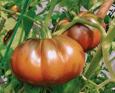 Really Great Heirloom Seed Companies (for USA and Canada)gypsy tomato by dave ledoux via www.pithandvigor.com