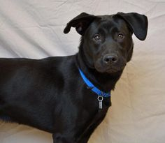 Meet Chopper 26950762, a Petfinder adoptable Labrador Retriever Dog   Hamilton, OH   Chopper is current on shots, licensed and microchipped. He is 2 years old and an active boy.   All...