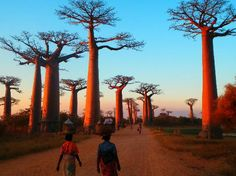 Morondava, Madagascar - trying sooooo hard not to start singing Lemur King songs from the movie
