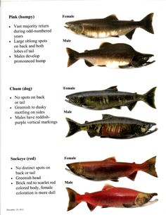The seven species of pacific salmon found in western north for Pacific northwest fish