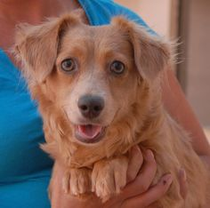 You can see all of the love in Emerald's eyes and she is eager to begin her new life with someone who will treasure her and provide a stable, safe home.  Emerald is a very attractive Longhair Chi-Weenie (Chihuahua & Dachshund mix), 2 years young, spayed and ready for adoption at Nevada SPCA (www.nevadaspca.org).  She enjoys other dogs and playing with her toys.