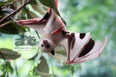 A beautiful bat at the Australian Bat Clinic