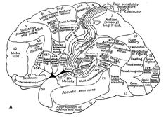 Localization of functions in the cerebral cortex according to Kleist--Kleist K (1934) Gehirnpathologie. Johann Ambrosius Barth, Leipzig--The numbers indicate Brodmann's cytoarchitectonic areas. Source: The Human Central Nervous System A Synopsis and Atlas 4th ed.-Rudolf Nieuwenhuys, Jan Voogd, Christiaan van Huijzen, Page 520.