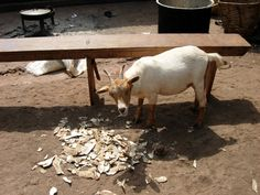 Php, Goats, Animals, Men And Women, Finance, First Aid, Animales, Animaux, Animal