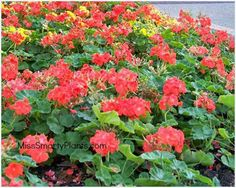 "Geraniums:  Huge flowers;  Red, orange, white, pink;  Up to 24"" tall;  Remove old flowers to encourage blooming;  Plant in October"