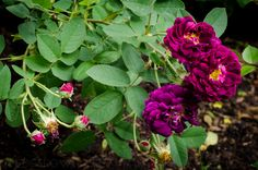 Tuscany Superb Gallica Rose 2 | Hedgerow Rose