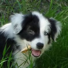 My friend Steve's Border Collie, Jin as a puppy. Jin is now 3 years old and has become an exceptional service dog for my friend.
