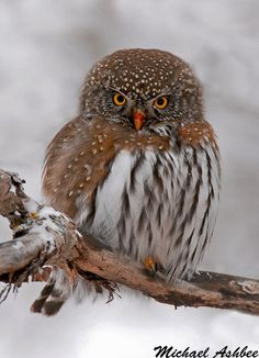 Northern Pygmy Owl - mikeashbee