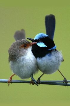 About Animals of our Planet: Superb Fairy-Wren Kinds Of Birds, All Birds, Cute Birds, Pretty Birds, Little Birds, Beautiful Birds, Animals Beautiful, Cute Animals, Baby Animals
