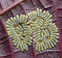 caterpillar aggregate