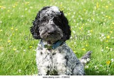 Find the perfect cute black white cockapoo stock photo. Huge collection, amazing choice, million high quality, affordable RF and RM images. Cockapoo Puppies, Yorkie, Cockapoo Haircut, Ugly Dogs, Dog Diet, Baby Carrots, I Love Dogs, Dog Food Recipes, Cute Animals