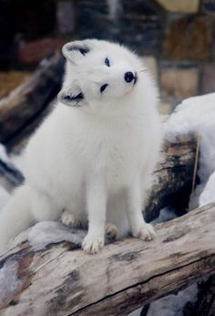 Intrigued arctic fox...