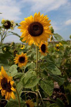 Sunflower - Powell Gardens