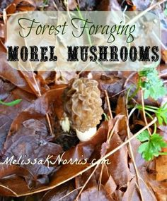 How to Forage for Morel Mushrooms. This is our favorite family activity in the spring. The kids love finding these and I can't cook enough fast enough. Teaching your kids how to forage and be prepared should be a family affair, and this is one way to do it!