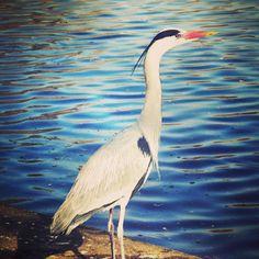 Scruta scruta il nostro #airone in cerca di preda. #londra #londranews #regentspark #londranelcuore #autunnoalondra #uccelli #parchi #parchidilondra