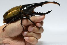 Hercules beetles can be found roaming ares in southern Mexico south to Bolivia and in the Lesser Antilles. As an adult (pictured) it only lives about three to six months, so the average beetle lives total life span of up to two years Rhino Beetle, Beetle Insect, Beetle Bug, Especie Animal, Animal Games, Cool Bugs, A Bug's Life, Beautiful Bugs, Bugs And Insects