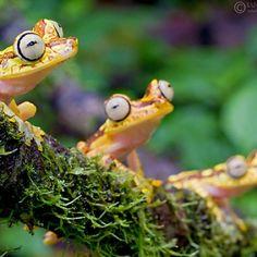 Imbabura Treefrog (Hypsiboas Picturatus)
