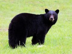 Basic Facts About Black Bears and Strategies For Keeping Them Away - Farmers' Almanac - Keep black bears from moving in on your territory with these practical suggestions. #blackbears #tips