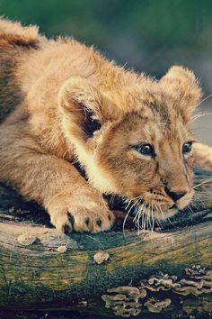 Lion, Lioness, Lion cub