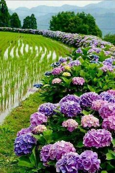 Hydrangea Road It S Like Heaven Garden Hydrangea Hortensia Hydrangea, Hydrangea Garden, Hydrangea Flower, Amazing Flowers, Purple Flowers, Beautiful Flowers, Dream Garden, Garden Inspiration, Beautiful Gardens