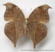 This eared commodore butterfly is part of a collection of East African butterflies donated by Mrs Buckler in 1947. According to the label this specimen was collected in 'Ngong Forest, 6 miles from Nairobi, Kenya. Aug 26 1936'.