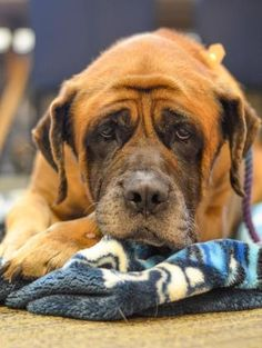 Adopt Maggie, a lovely female 7y 8m Mastiff available for adoption at City of Elderly Love, Philadelphia,PA
